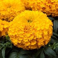 Big Top Gold (Marigold/African)