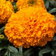 Big Top Orange (Marigold/African)