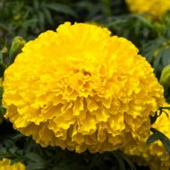 Big Top Yellow (Marigold/African)