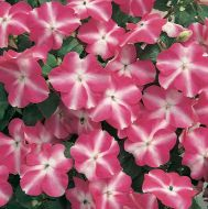 Accent Rose Star (Impatiens)