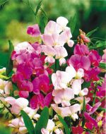 Perennial Sweet Pea Mix (Lathyrus)