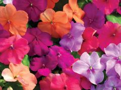 Xtreme Utopia Mix (Impatiens)