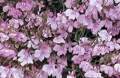 Regatta Lilac (Lobelia multi-pellets)