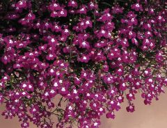 Regatta Rose (Lobelia multi-pellets)