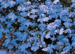 Regatta Sky Blue (Lobelia multi-pellets)