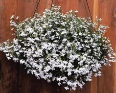 Regatta White (Lobelia multi-pellets)
