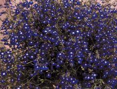 Regatta Sapphire (Lobelia multi-pellets)