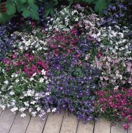 Color Cascades Mix (Lobelia)
