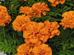 Super Hero Deep Orange (Marigold/French)