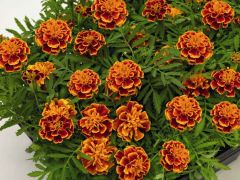 Super Hero Orange Flame (Marigold/French)
