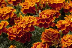 Safari Scarlet (Marigold/French)
