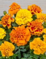 Chica Mix (Detailed Marigold)