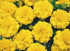 Little Hero Yellow (Marigold/French)