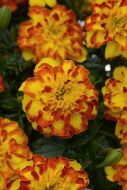 Flamenco (Marigold/Novelty)