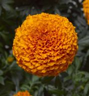 Inca II Deep Orange (Marigold/African)