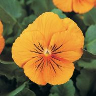 Panola® Deep Orange (Pansy)