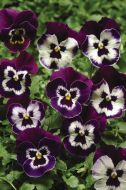Panola® Purple Face (Pansy)