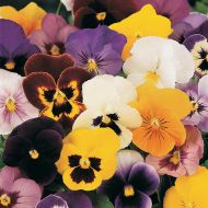 Panola® Mix (Pansy)