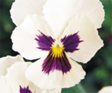 Panola® White Blotch (Pansy)