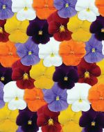 Panola® Clear Mix (Pansy)