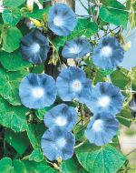 Heavenly Blue (Morning Glory)