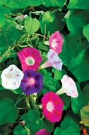 Morning Glory Mix (Morning Glory)