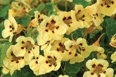 Cream Troika (Nasturtium)