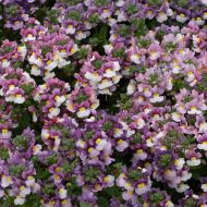 Pretty Please™ Pink Bicolor (Nemesia)