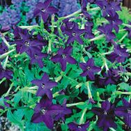 Perfume Deep Purple (Nicotiana)