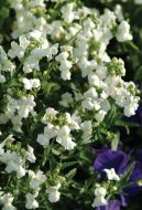 Poetry™ White (Nemesia)