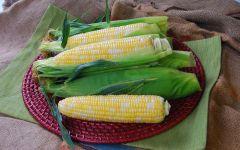 Temptress Synergystic (corn, hybrid, bicolor)