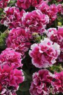 Pirouette Rose (Petunia/double/pelleted)