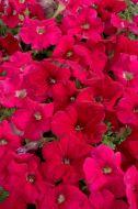 Celebrity Rose (Petunia/multiflora/pelleted)
