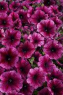 Celebrity Plum Ice (Petunia//multiflora/pelleted)