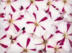 Celebrity Burgundy Star (Petunia/multiflora/pelleted)