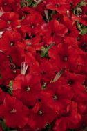Celebrity Red (Petunia/multiflora/pelleted)