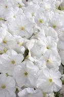 Celebrity White (Petunia pellets/multiflora)