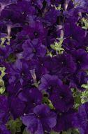 Celebrity Blue (Petunia/multiflora/pelleted)