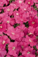 Celebrity Pink Improved (Petunia/multiflora/pelleted)