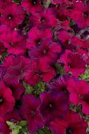 Celebrity Burgundy (Petunia/multiflora/pelleted)