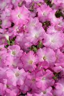 Celebrity Lilac Morn (Petunia pellets/multiflora)
