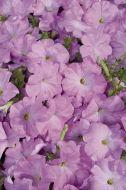 Celebrity Lilac (Petunia/multiflora/pelleted)