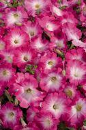 Celebrity Pink Morn (Petunia/multiflora/pelleted)