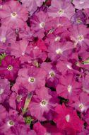 Celebrity Neon (Petunia/multiflora/pelleted)