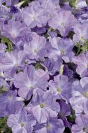 Celebrity Sky Blue (Petunia/multiflora/pelleted)