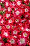 Celebrity Red Morn (Petunia/multiflora/pelleted)