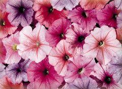 Celebrity Iced Mix (Petunia/multiflora/pelleted)
