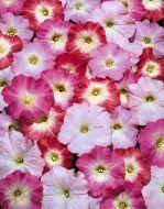 Celebrity Morn Mix (Petunia/multiflora/pelleted)