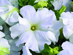 TriTunia Fresh White (Petunia/grandiflora/pelleted)