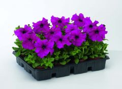 TriTunia Purple (Petunia/grandiflora/pelleted)